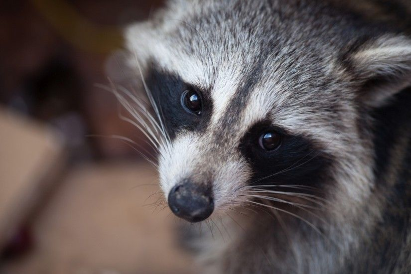 11 Excellent HD Raccoon Wallpapers
