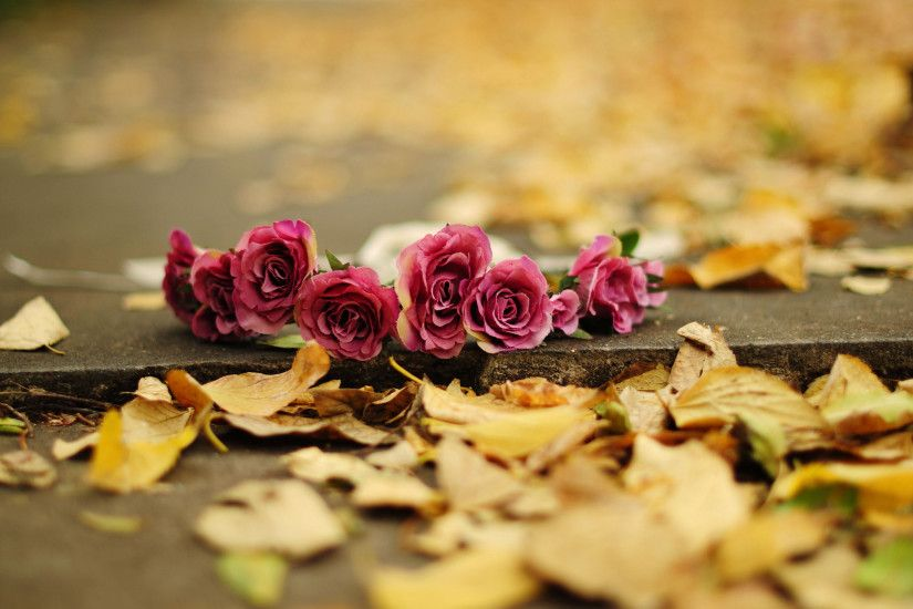 Autumn Flower Roses HD Wallpapers