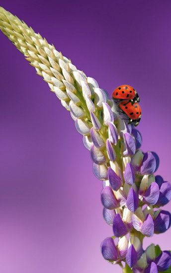 ladybugs@ladybirds on lavender