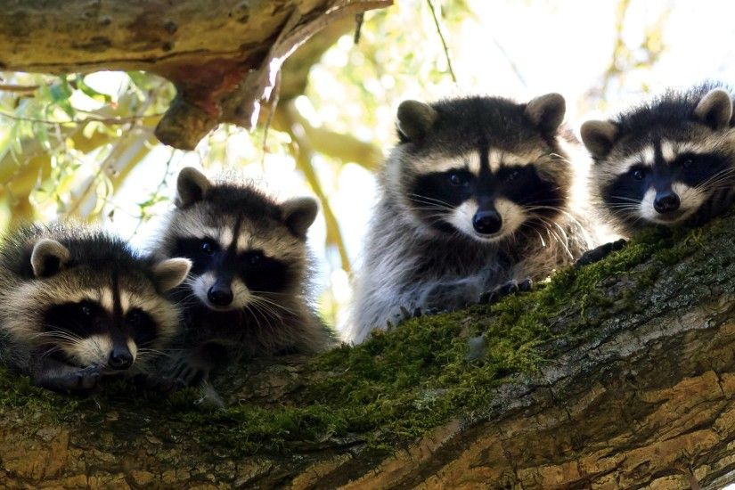 Animals, Mammalia, Procyonidae, Raccoon | HQ Wallpapers for PC