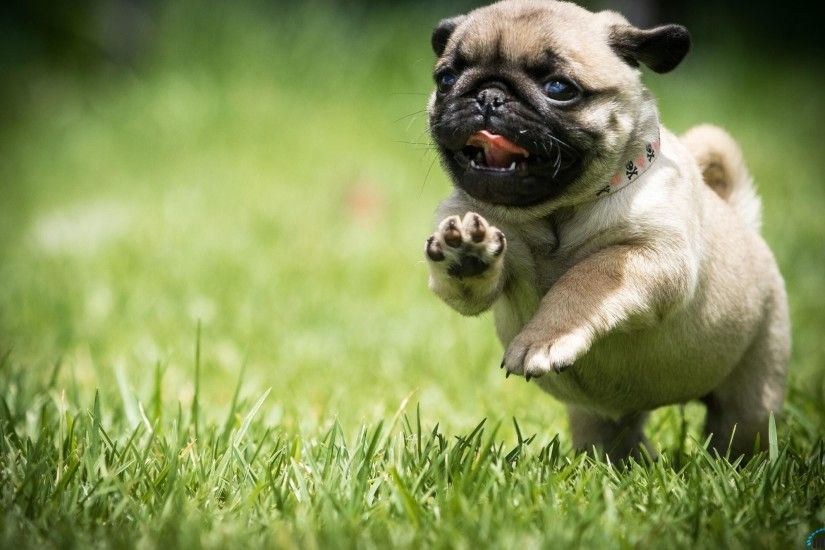 pug wallpaper desktop Image Gallery pug backgrounds