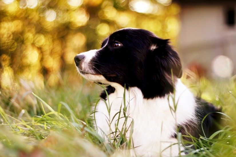 border collie, spotted dog, grass