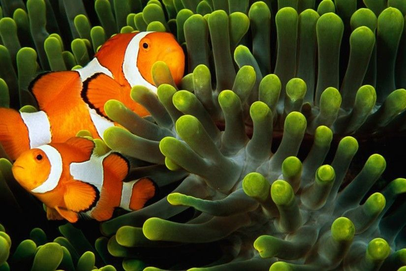 General 1920x1080 animals underwater fish clownfish