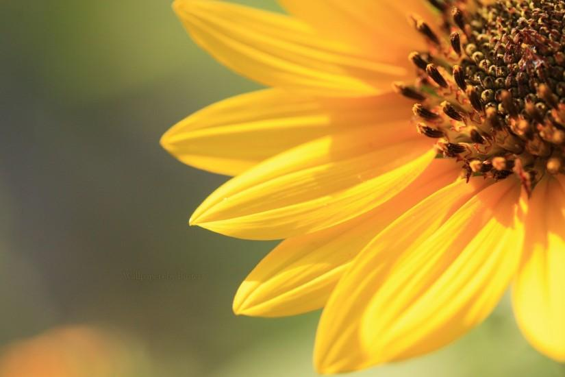 download sunflower background 1920x1200 for hd 1080p