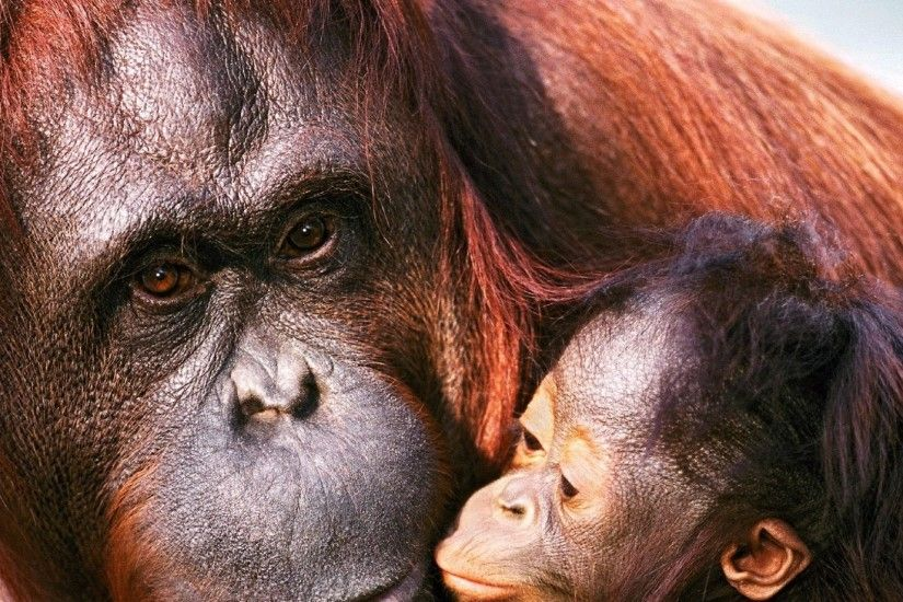 1920x1080 Wallpaper orangutan, female, young, caring