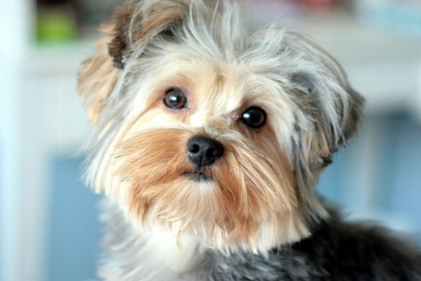 yorkshire terrier, face, handsome