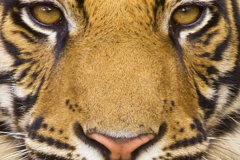 tiger face wallpaper - (#64247) - HQ Desktop Wallpapers . ...