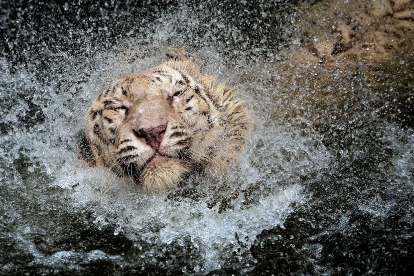 ... White Tiger Wallpaper ...