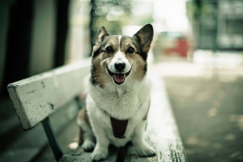 corgi dog hd images