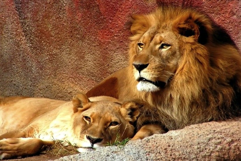 [TORNEO] The Animals: La Finale! 720152-fire-lion-wallpapers-1920x1200-for-meizu
