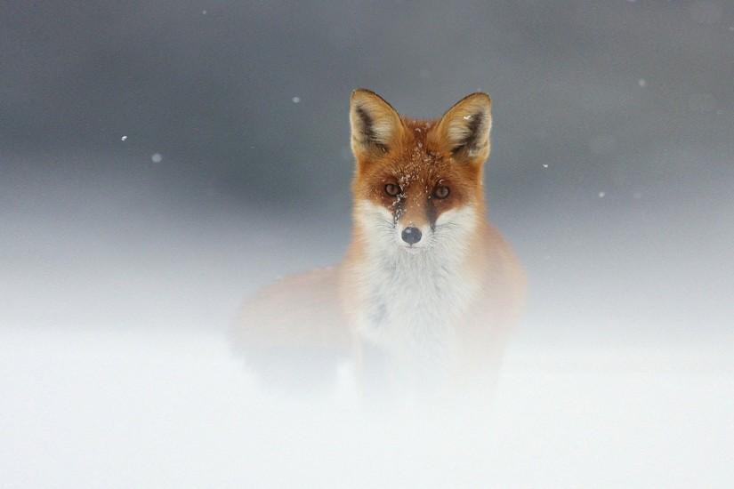 download free fox wallpaper 1920x1200 for ipad 2