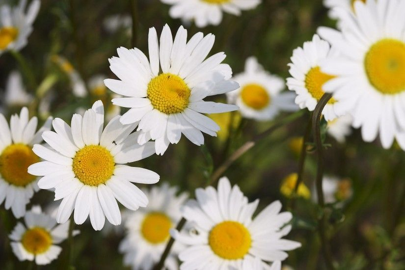 Daisy Wallpaper Background 3121