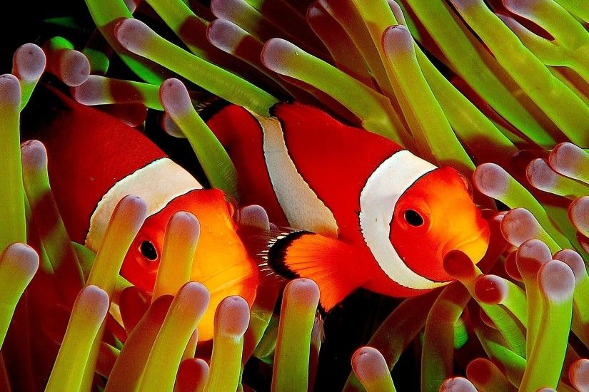 free screensaver wallpapers for clownfish