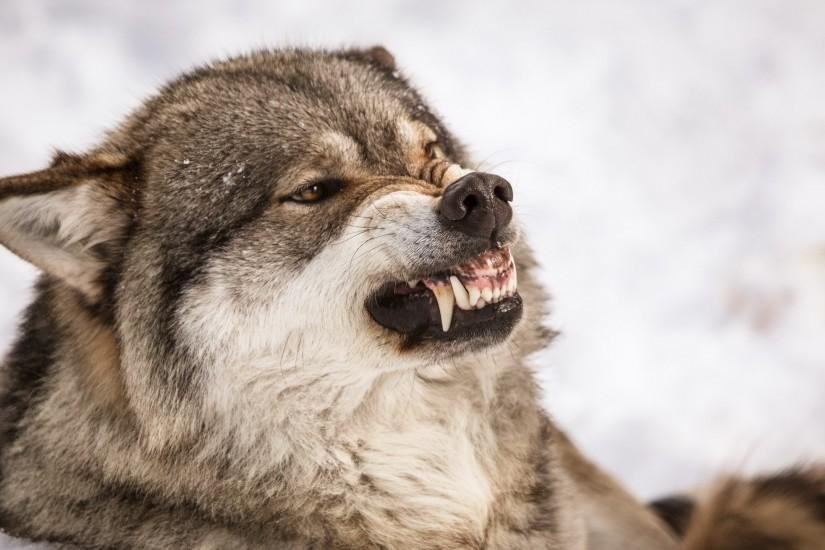 Angry Wolf Wallpaper Mobile All Wallpaper Desktop 2560x1440 px 531.25 KB  animal Android 3d Hd Iphone