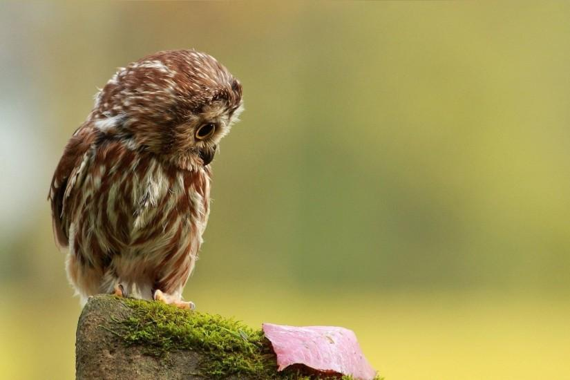Preview wallpaper owl, little, species, leaf, autumn, stone, moss 1920x1080