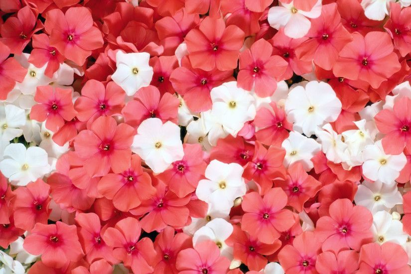 Bright Pink Flowers Wallpaper 27840
