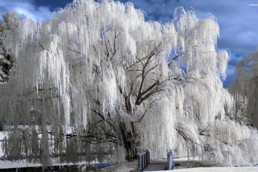 Snowy Weeping Willow