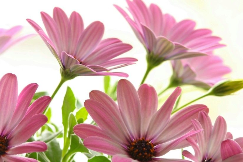 Pink Daisies Wallpaper Flowers Nature Wallpapers