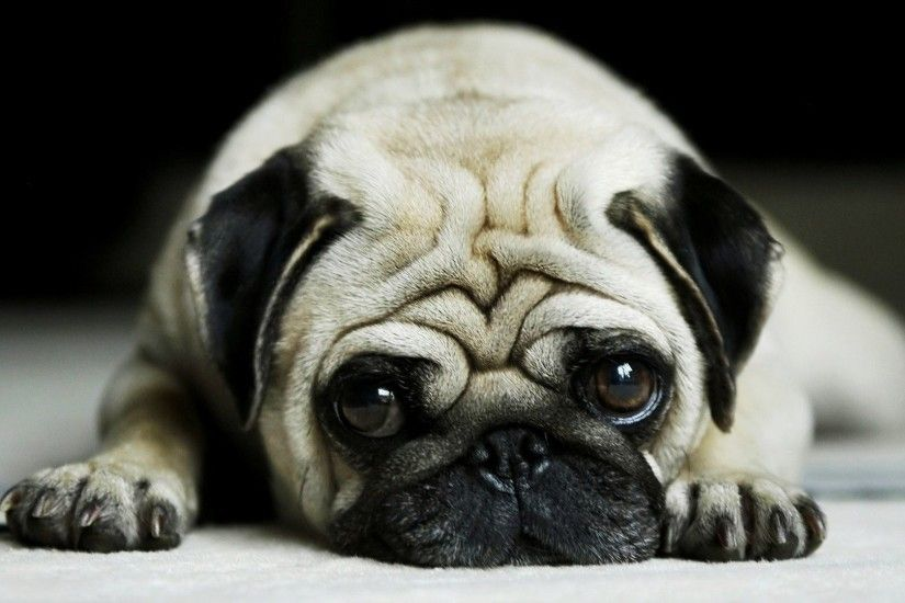 Collection Of Cute Pug Puppies On Hd Backgrounds And Wallpaper Full For  Android