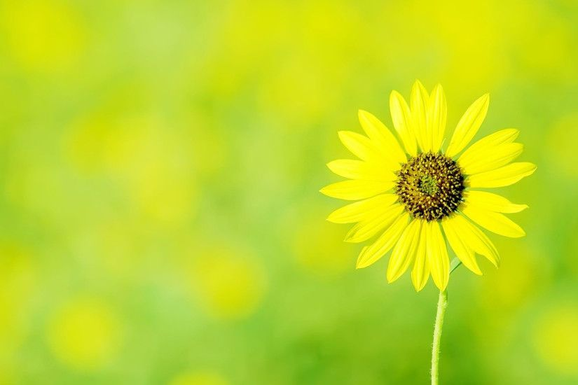 Free Yellow Flowers Wallpapers / Backgrounds TechTBH 2560×1440 Yellow Sunflower  Wallpapers (36 Wallpapers
