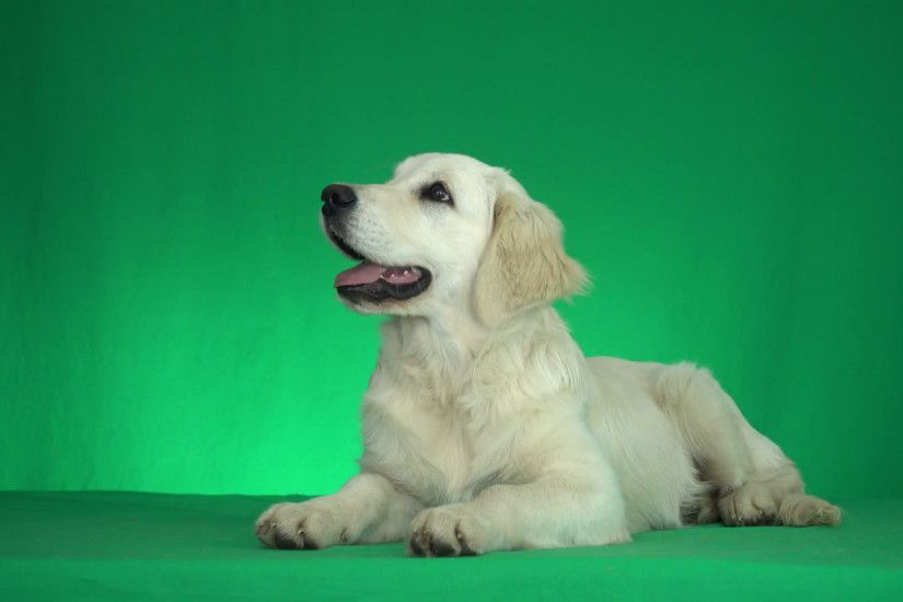 cute golden retriever looks around on a green background Stock Video  Footage - VideoBlocks