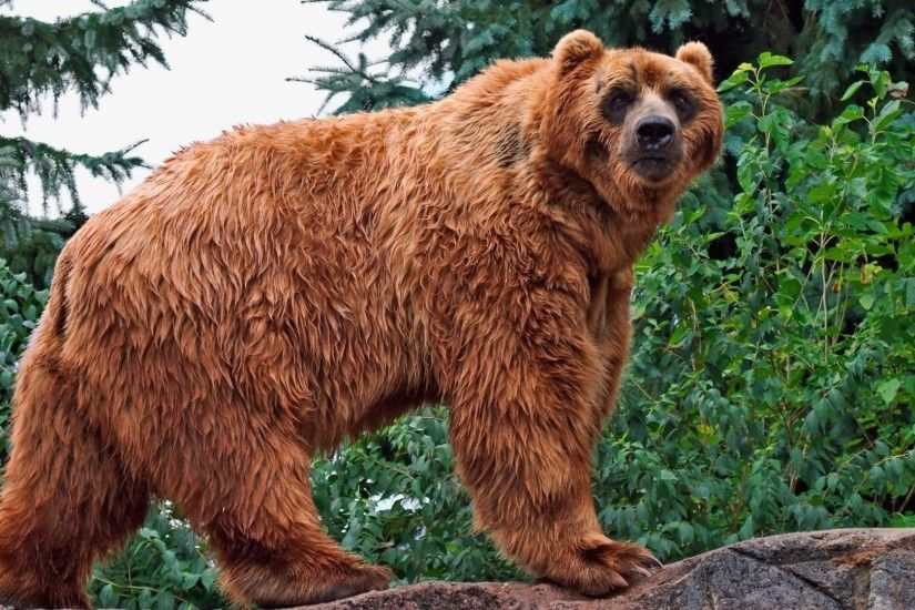 Bear Tag - Bear Kodiak Grizzly Last Photo for HD 16:9 High Definition 1080p