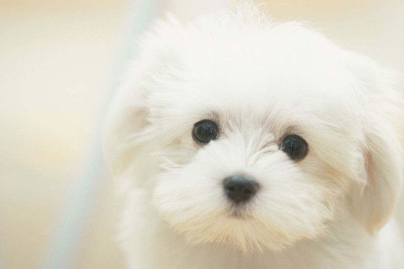 White Maltese Dog Wallpaper HD