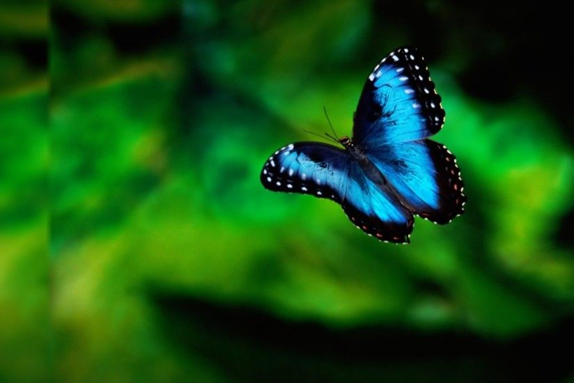 Navy blue and black butterfly nice wallpapers