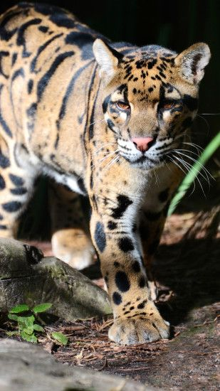 1080x1920 Clouded Leopard Samsung Galaxy Note 3 Wallpaper