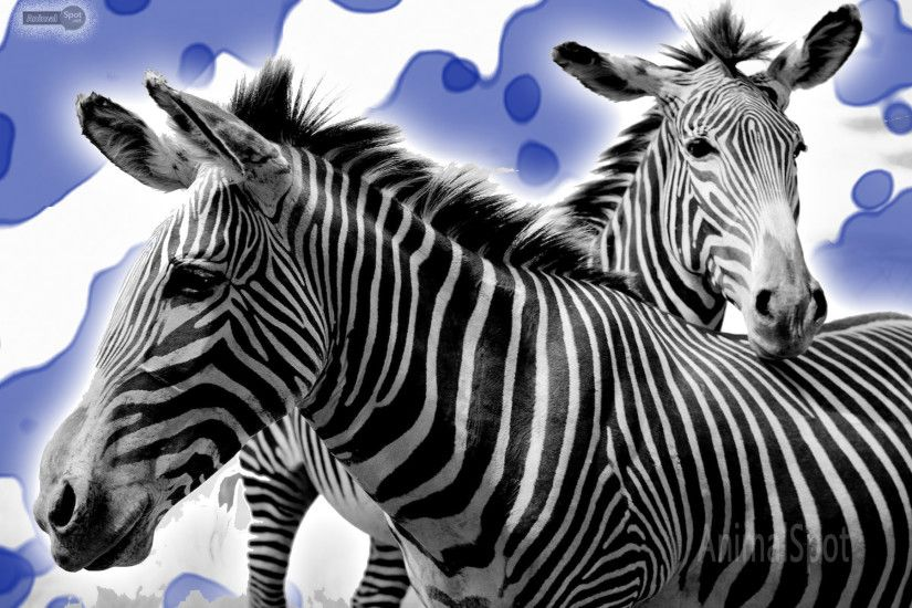 Best Zebra Wallpapers and Backgrounds