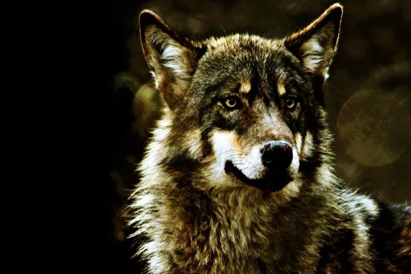 popular wolf wallpaper 1920x1200 iphone