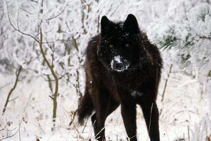 Dark <b>Wolf Wallpapers</b> - <b>Wallpaper<