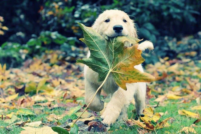 Golden Retriever Dog Leaf Autumn
