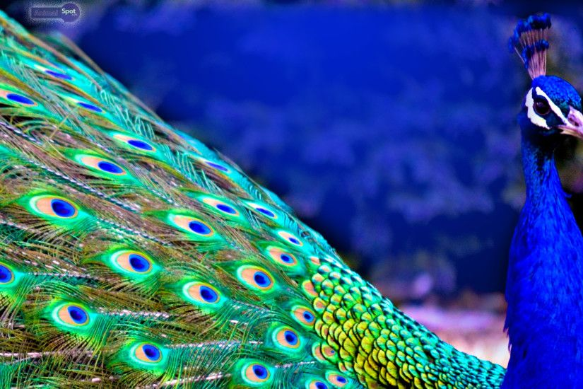 Peacock-Wallpapers