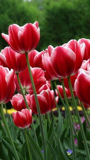 Red tulips htc wallpaper