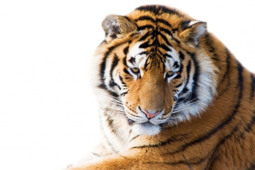 amur tiger face view cat tiger white background HD wallpaper
