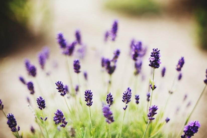 lavender background 1920x1200 download free