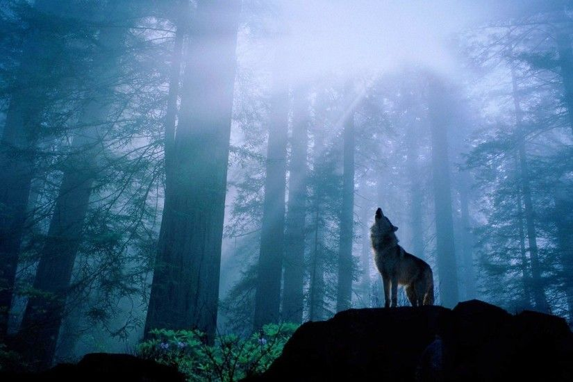 Wolf Howling at Night Free Stock Photo and Wallpaper