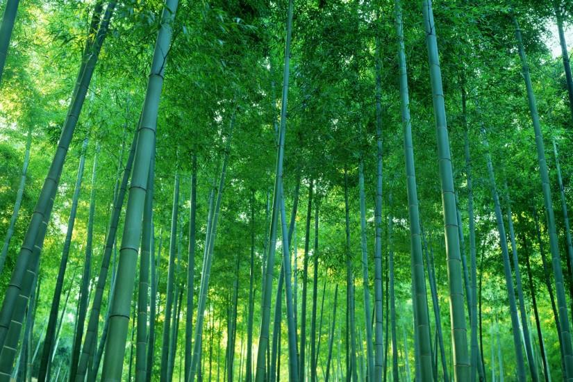 beautiful bamboo wallpaper 2560x1600