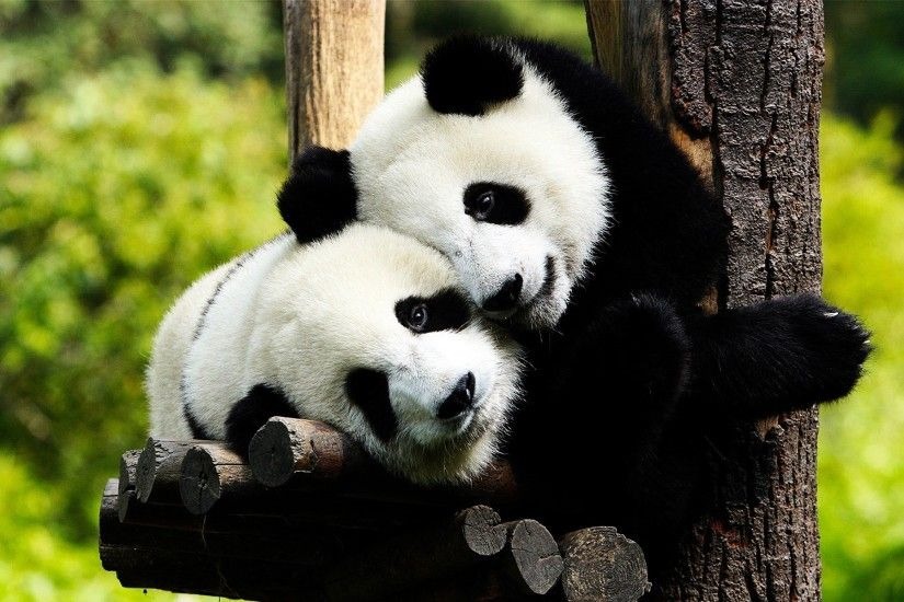 panda bear hd wallpapers for background free