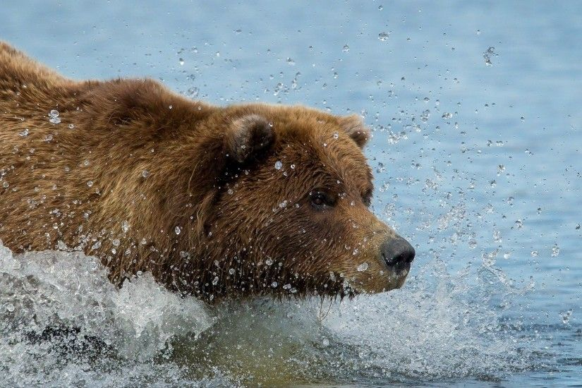 1920x1080 Wallpaper brown bear, grizzly bear, water, swim