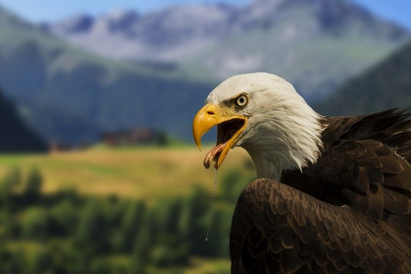 free desktop wallpaper downloads bald eagle