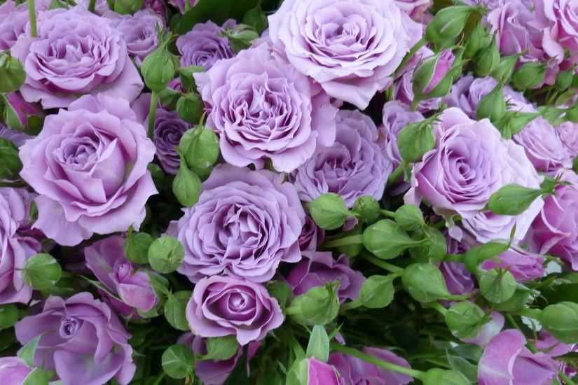 lilac roses, roses, rose color, floral background, color, purple roses
