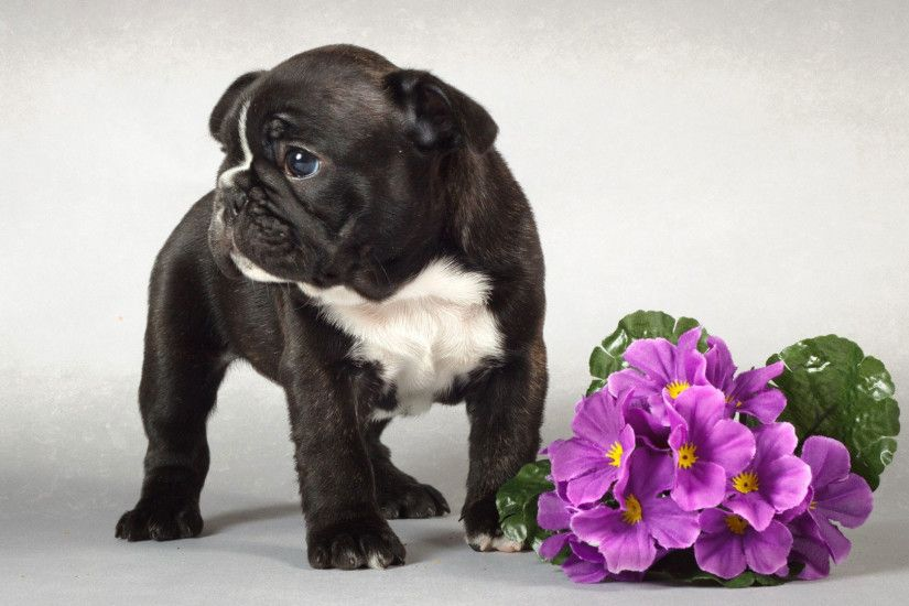 hd pics photos attractive cute pure black pug beautiful flowers stunning hd  quality desktop background wallpaper