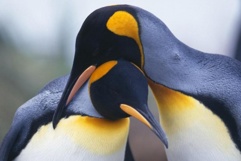 Animal - Penguin Bird Wallpaper