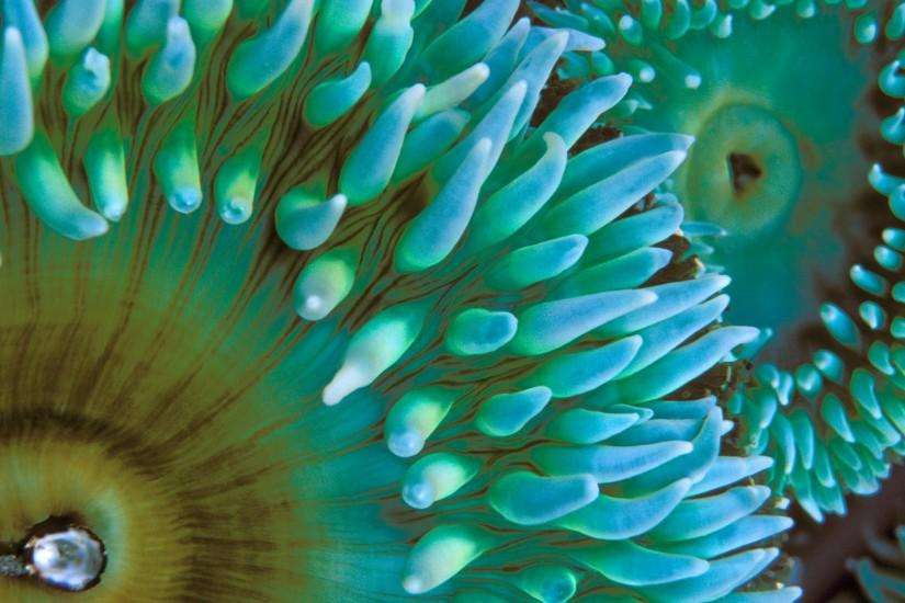 Animal - Sea Anemone Fish Animal Sea Ocean Nature Wallpaper