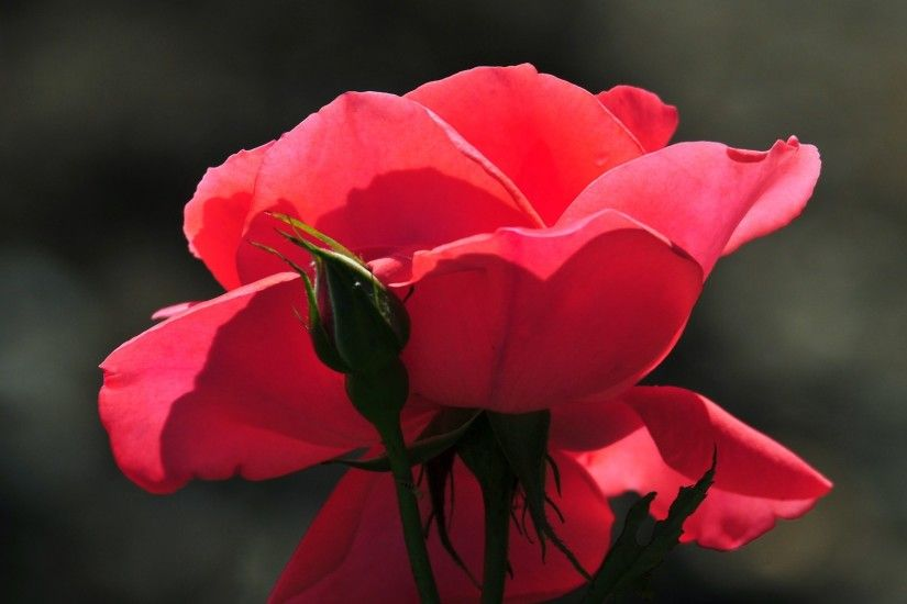 cool-pink-roses-flowers-hd-wallpaper-background-08 Red ...