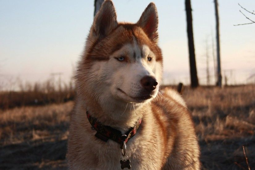 Husky Tag - Husky Dog Dogs Photos Download for HD 16:9 High Definition 1080p