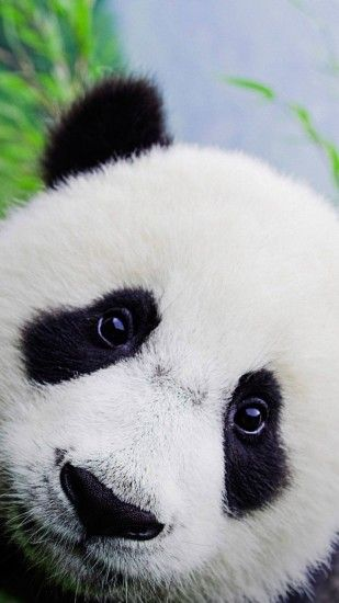 Cute Baby Panda Wallpaper For iPhone HD