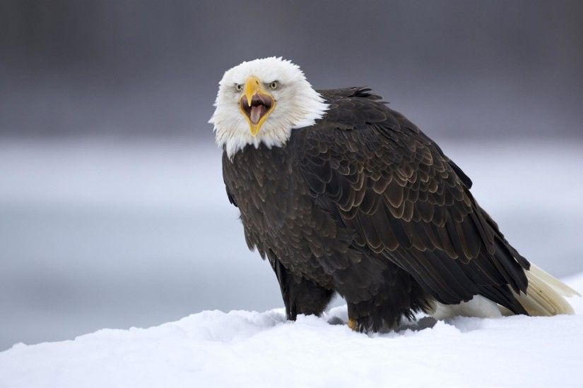 bald eagle images in flight wallpaper